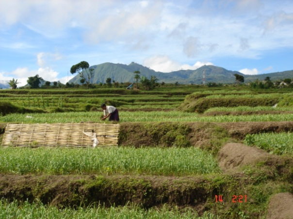 A lady works here rice fields with Gunung Rinjani in the background.