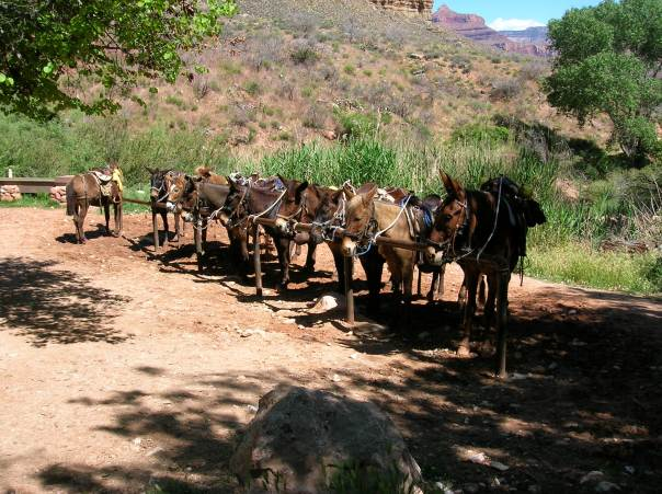 Passing through 'Indian Garden' where you can rent mules to ride on