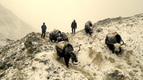 Yaks carrying to ABC