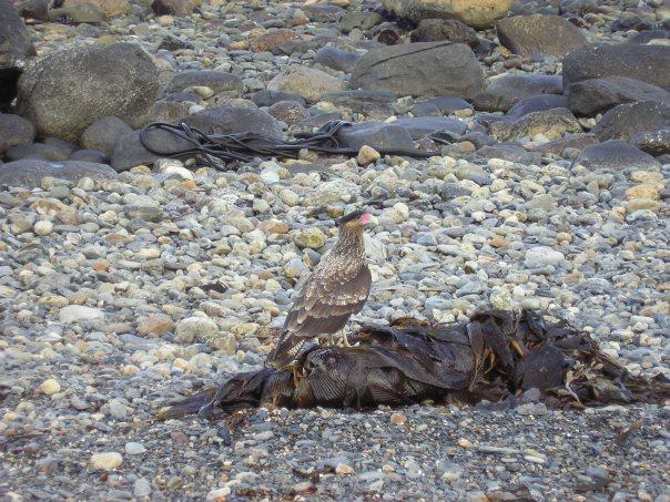 An eagle?