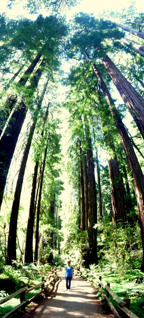 The coastal redwood trees are the manin attraction in Muir Woods, they can grow over 100m in heights and some are over 1000 years old.