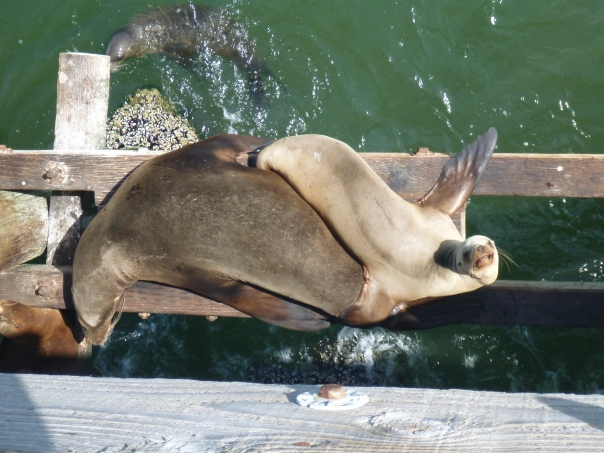 Seals relaxing on the end of Sharp Park Pier.