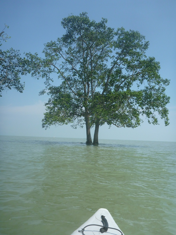 A lone mangrove at the Northern tip of Tekukor Island.