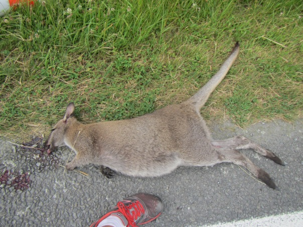 Who says there is no Wallabies in New Zealand?  This is the first time I have ever seen one, unfortunately dead after bing hit by a car on the side of the road.